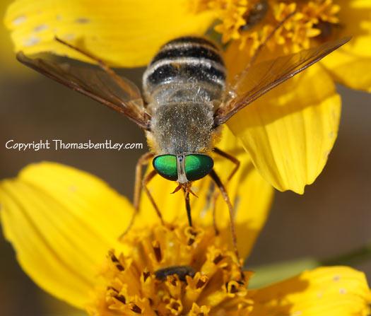 Bee Fly? - Esenbeckia incisuralis - female