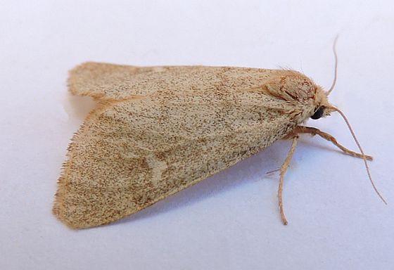 Arizona Moth - Narthecophora pulverea