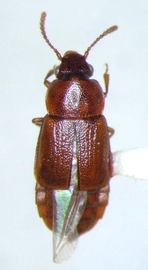 ocellate 5 - Phyllodrepa punctiventris