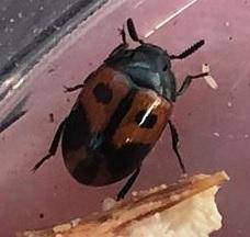 Found on Trametes Hirsuta  - Diaperis maculata