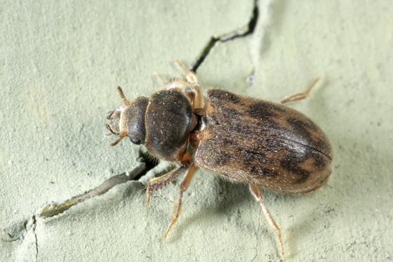 Beetle - Heterocerus mollinus