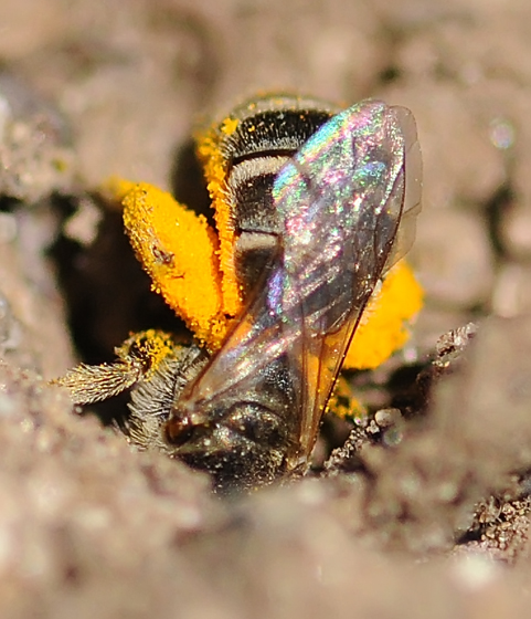 Halictus tripartitus - female