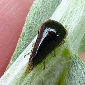 Treehoppers (Membracidae) » Acutalis tartarea? - Acutalis tartarea