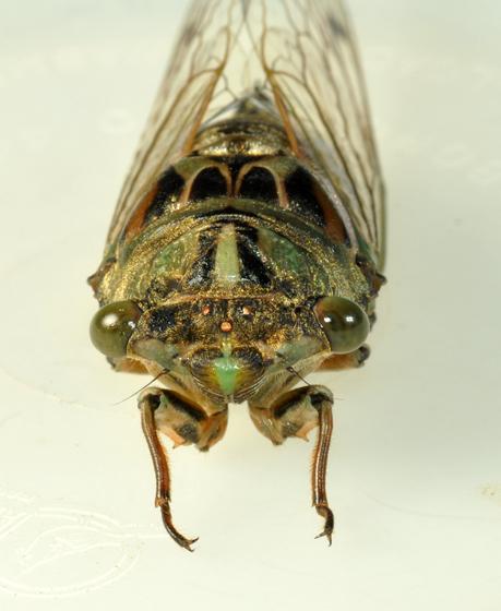 Cicada - Neotibicen robinsonianus - female
