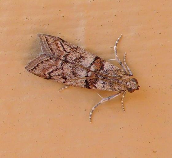 moth Seattle - Dioryctria sierra