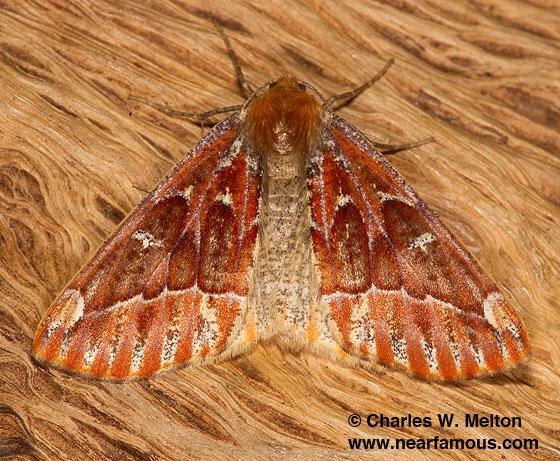 Caripeta suffusata - female