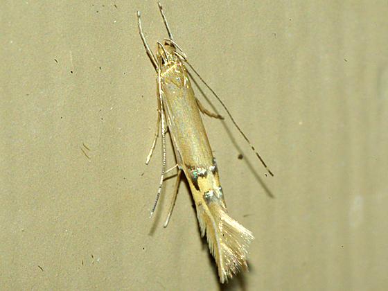 Cosmet Moth - Cosmopterix fernaldella