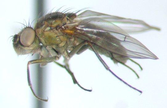 Ephydrid 2 - Setacera atrovirens