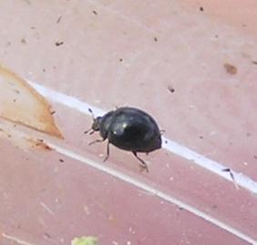 Micro ladybird, Microweisia misella, New for BG, 12:08pm - Microweisea misella