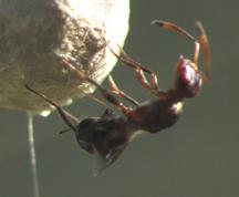 wasp parasitoid on spider egg sac - Arachnophaga - female