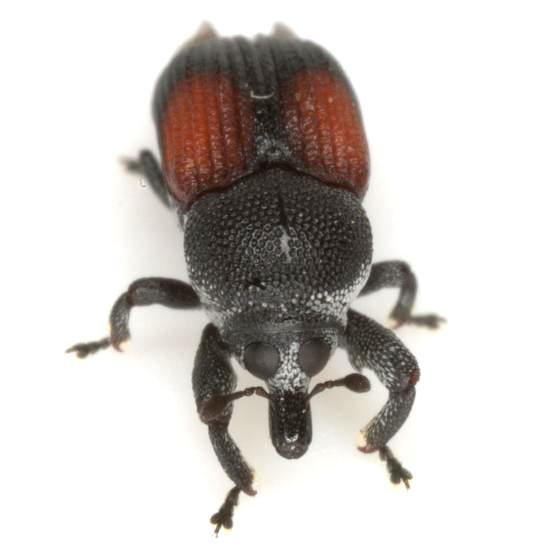 Laemosaccus