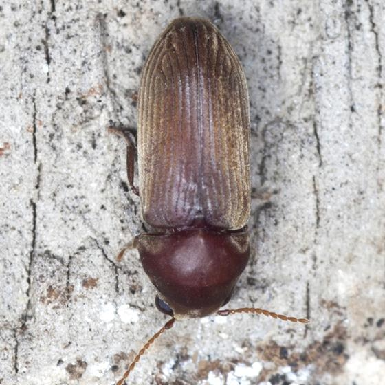 Anobiid Powderpost Beetle - Euvrilletta peltata