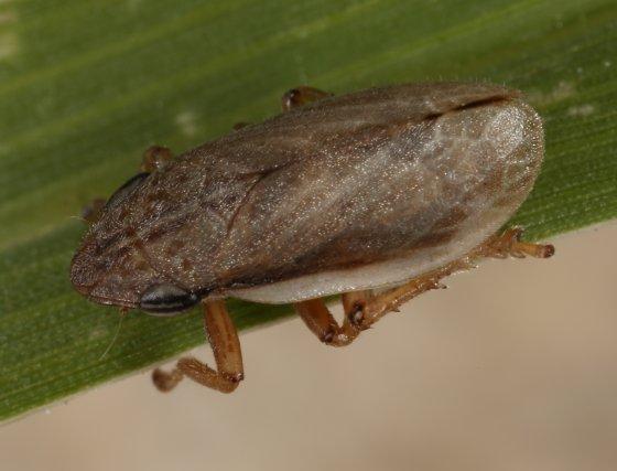 planthopper - Philaenarcys bilineata