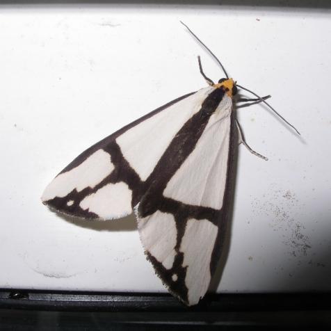 Moth 1mcsau - Haploa contigua