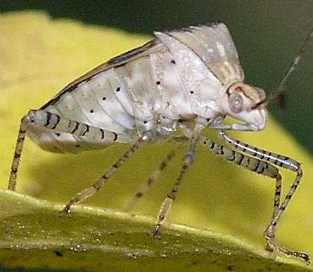 Coreid Bug - Hypselonotus punctiventris - female