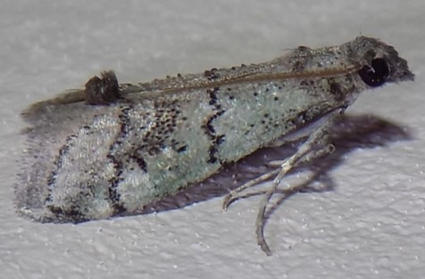Moth - possible Cacotherapia flexilinealis?  - Cacotherapia flexilinealis