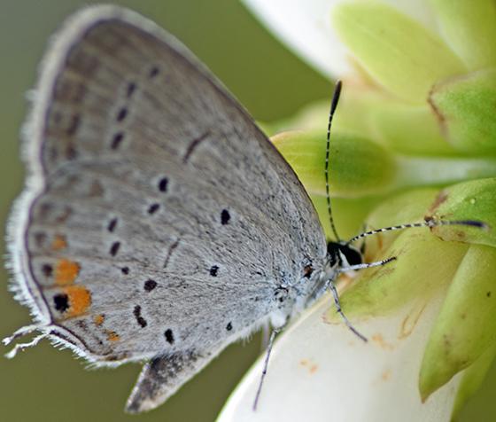 Butterfly - Cupido comyntas