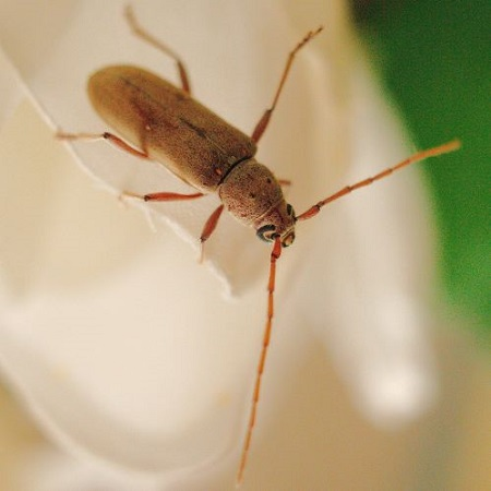 Lesse Ivory marked long horn beetle - Eburia mutica