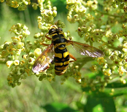 Hornet Flower Fly? - Milesia virginiensis - female