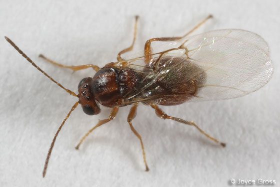 cynipid - Andricus quercuslanigera