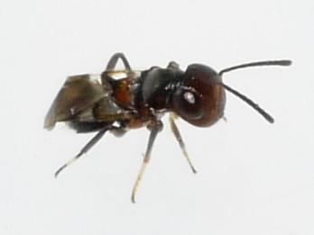 wasp - Encyrtus