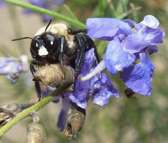 Large Bumble Bee - Xylocopa virginica - male