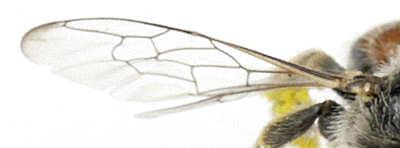 Andrenidae - ? - Calliopsis subalpina - female