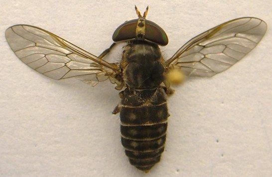 Horse Fly - Tabanus pumilus - female