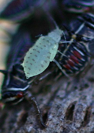 Oak Leaf Aphids - Myzocallis sp. - Myzocallis