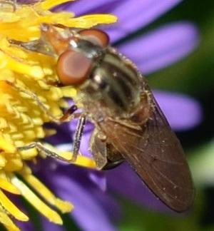 dark hoverfly -bee mimic? - Rhingia nasica - female