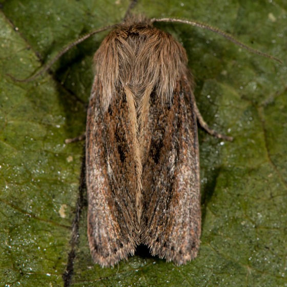 Unknown Moth - Hypocoena basistriga