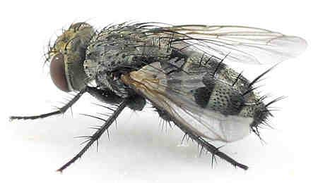 Tachinidae - ?  - Athrycia cinerea