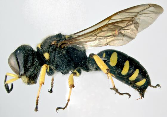 Crabronidae, lateral - Ectemnius maculosus - female