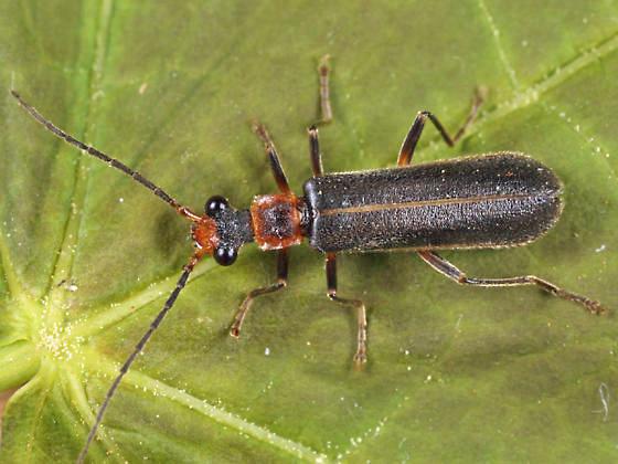 Podabrus intrusus? - Dichelotarsus cinctipennis