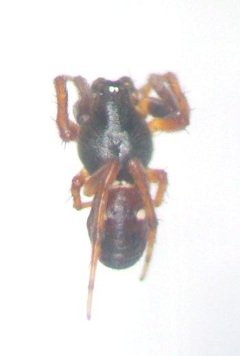 Spotted spider - Cyclosa turbinata - male