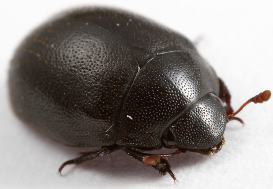 beetle - Nosodendron unicolor