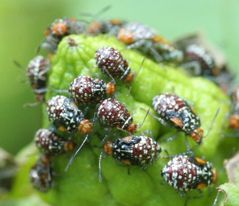 Bugs or Beetles on Hibiscus? - Niesthrea louisianica