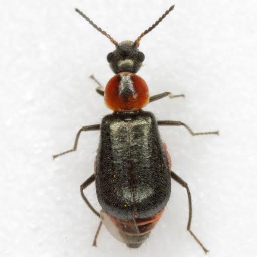 Attalus nigripes Horn - Attalus nigripes
