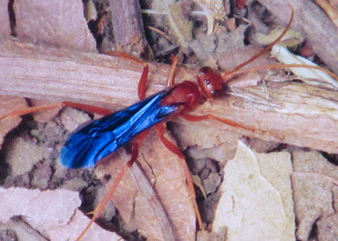 Blue-winged wasp - Ageniella coronata