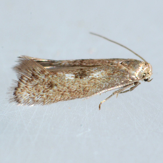Moth for ID  - Perittia cygnodiella