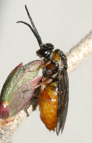Sawfly - Nematus