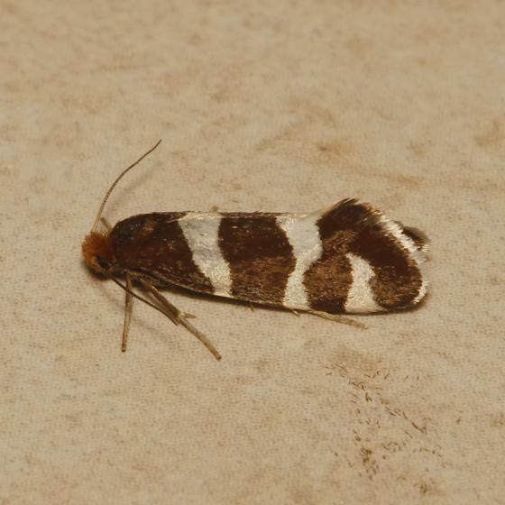 Lampronia oregonella - female