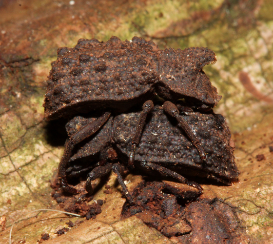 Forked Fungus Beetles - Bolitotherus cornutus - male - female