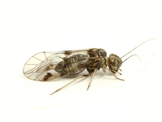 Amphigerontia montivaga - female