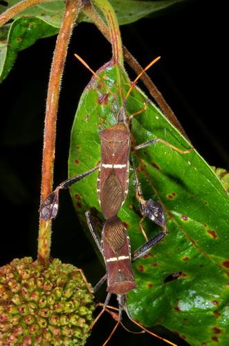 Coreidae ? - Leptoglossus phyllopus - male - female