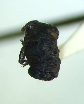 Chrysomelid - Exema canadensis