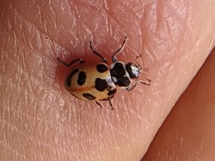 Oblong Lady Beetle - Hippodamia