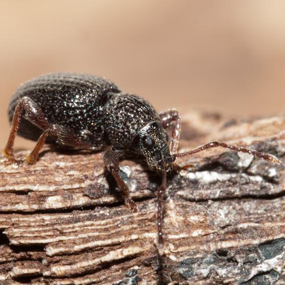 Broad-nosed Weevil - Otiorhynchus ovatus
