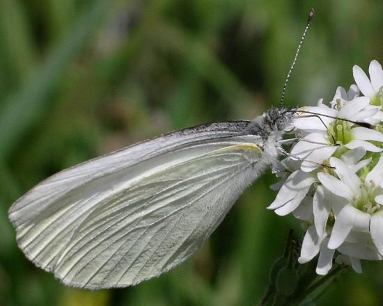 white - Pieris oleracea