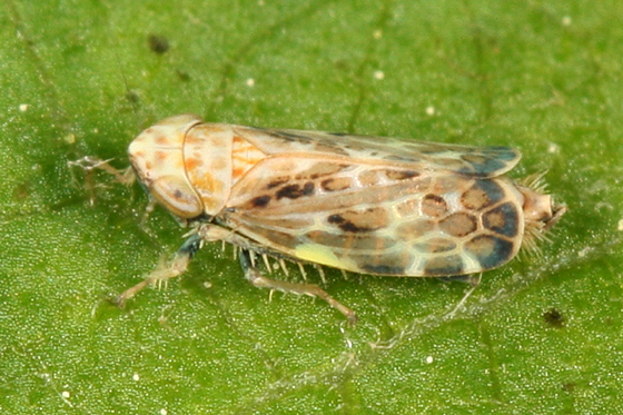 leafhopper - Errastunus ocellaris